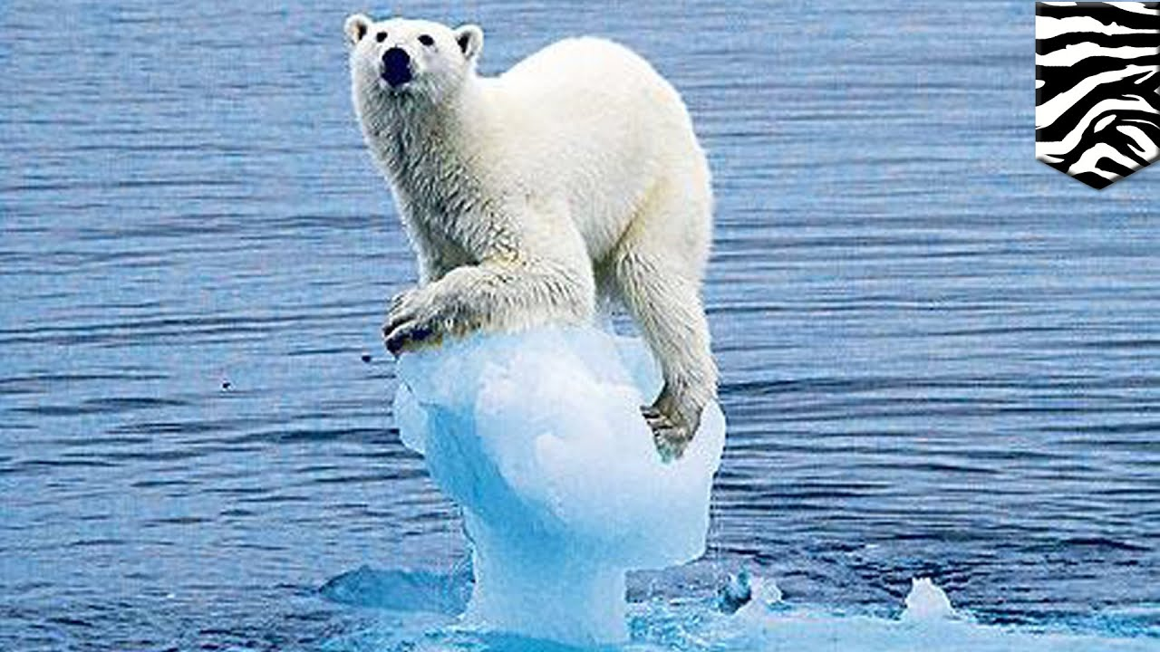 polar bear and global warming essay Polar bears in a warming climate1 regardless of variations in individual models or papers that monitoring the global population size of polar bears is.