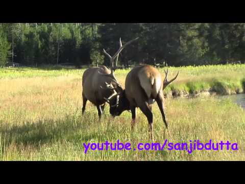 Elk fight in Yellowstone National Park