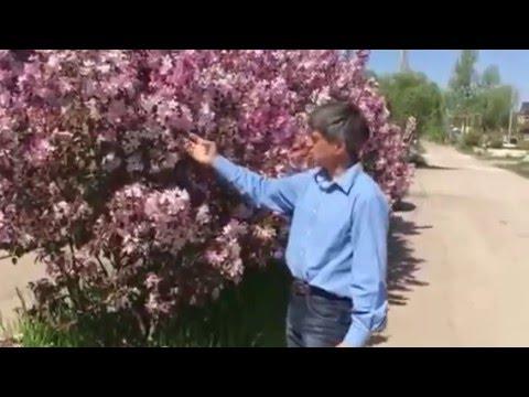22 янв 2011. Купила яблоньку как я. Недзвецкого в 2006 г. Крастнолистная, невысокая. Цветет единичными цветками (режу с 2008 регулярно, но без.