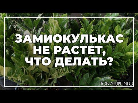 Замиокулькас не растет, что делать? | toNature.Info
