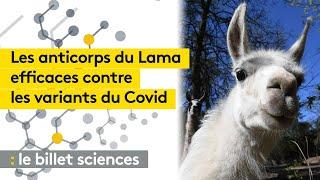 Les anticorps du lama comme piste contre le coronavirus ?