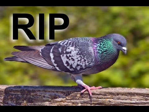 Pigeon Flew Into My Window And Died
