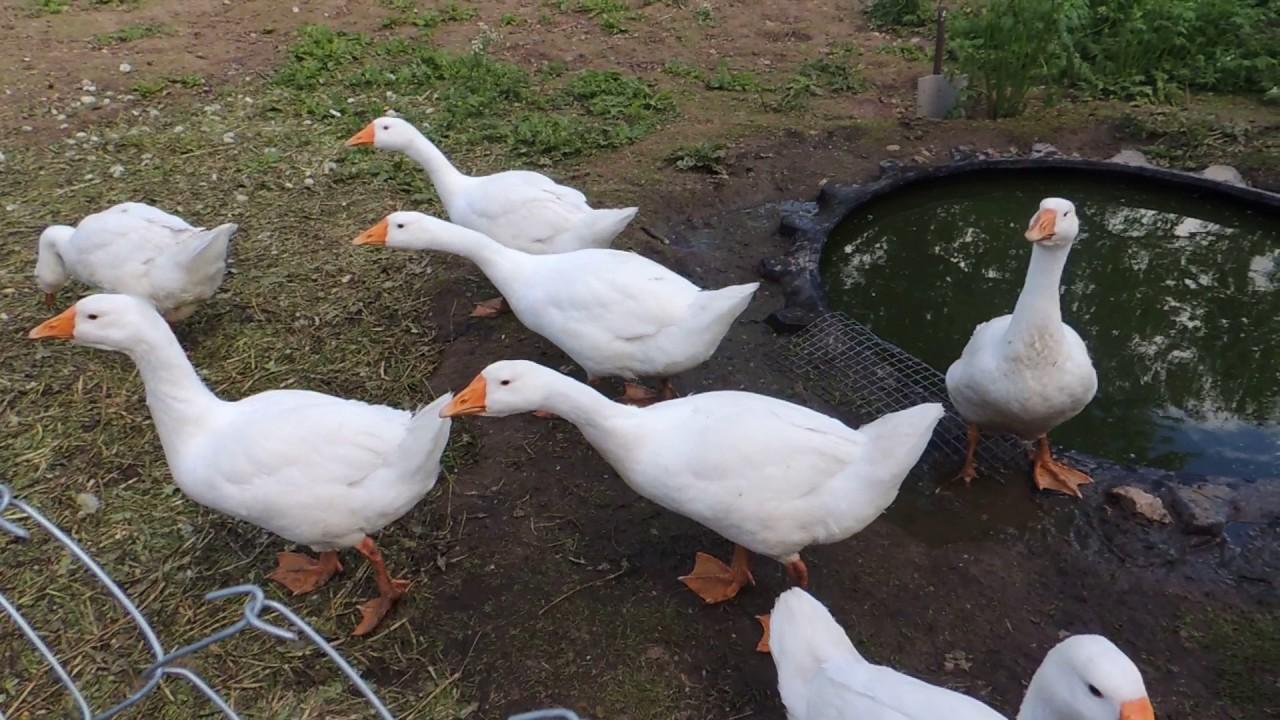 выращивание гусей
