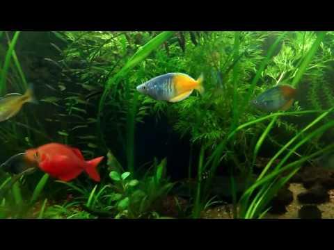 Boesemani And Millennium Rainbowfish Showing Off