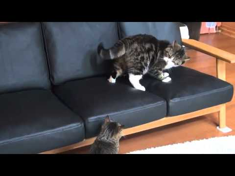 Cats *** Scottish Fold doing stupid things and doing funny things best of 2016-EP.01
