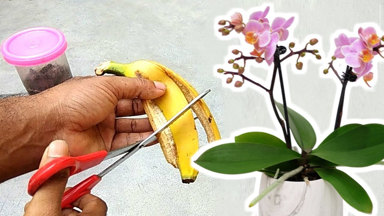 Banana Peel Best Fertilizer For Orchids To Bloom Youtube