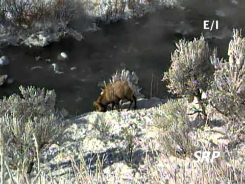 Wild About Animals -- Winter in Yellowstone