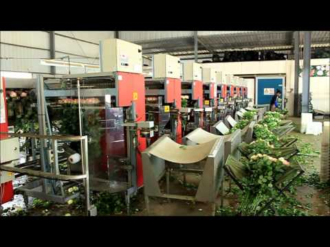 Largest Chinese Rose and Anthurium Flower production farm