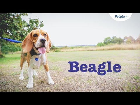 Beagle Puppies & Dogs | Breed Facts & Information | Petplan