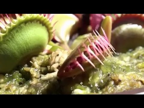 Cận cảnh cây bắt mồi ăn thịt côn trùng!