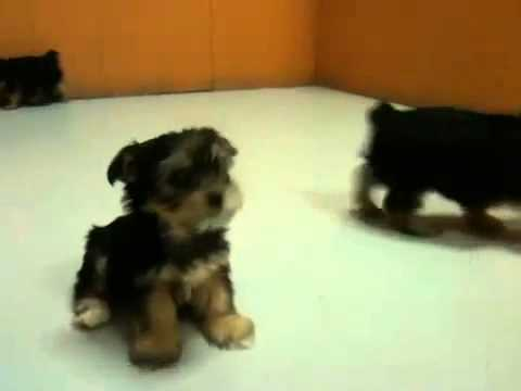 Teacup yorkie puppies for sale southern california