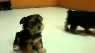 Yorkshire Terrier ,puppies, For, Sale, In, Los Angeles, California, Ca, Text.....8722285224,