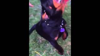 Rottweiler Puppy Jaw Strength!