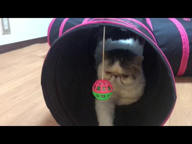 絶対オモチャで遊ばないブサカワ猫