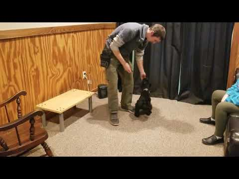 "Giant Schnauzer Puppy ""Abbott"" 11 Wks Early Puppy Training BAB Candidate For Sale"
