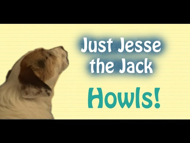 Jesse the Jack Russell Howls! (A Just Jesse Moment)