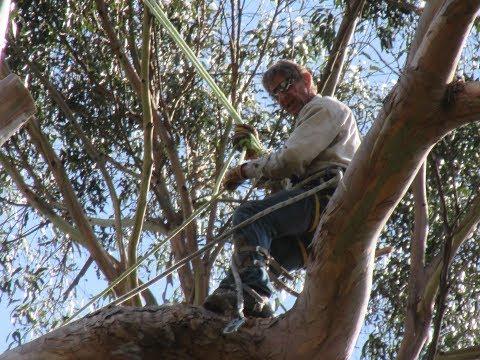 Super tall Eucalyptus Globulous, 160' tall Blue Gum- Bill Swanson