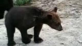 Медведи едят сгущенку с рук)))