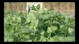 How to grow Coriander by EWS Knowledge Transfer. Shared by The Veggie Man
