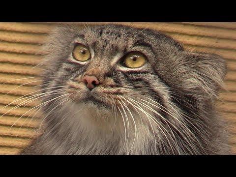 吊り橋を渡るレッサーパンダを見たマヌルネコの反応(旭山動物園)Pallas's cat 'Grousya'