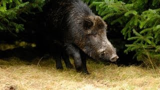 Repeat youtube video Wounded boar attacks forest ranger