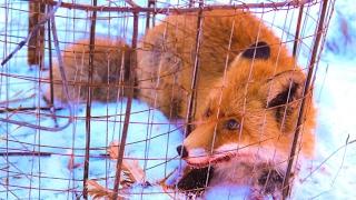 Ловушка на лису (живоловушка). Traps fox (alive trap).
