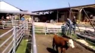 Tri de bétail.wmv