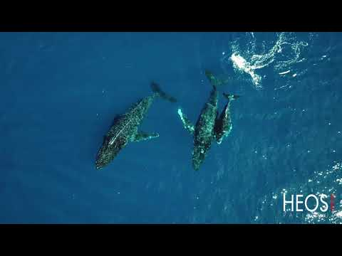 Humpback whales of New-Caledonia, 4K