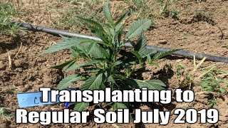 Cannabis Outdoor Grow 2019 Easy Transplant tips for Rooted Clones. Marijuana Education