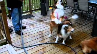 The Sheltie Furkids Outside While Daddy Waters The Flowers & Plants!!!!! Cody makes us laugh!!!!!