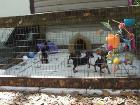 Keltic Kennel miniature pinscher pups