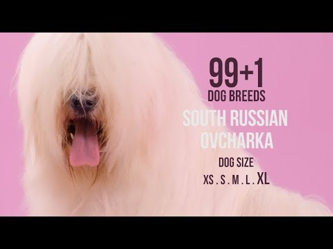 South Russian Ovcharka / 99+1 Dog Breeds