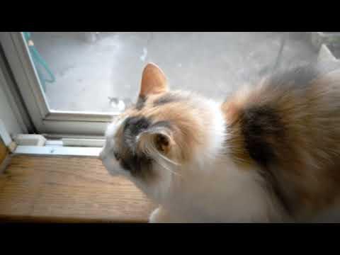 野良猫を初めて見たときの家猫の反応 ゆずぽんぴい未知との遭遇