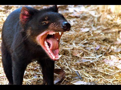 TASMANIAN DEVIL - Largest Marsupial Carnivore