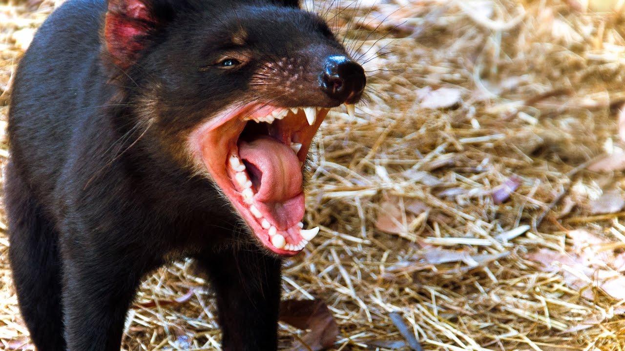 13 facts about tasmanian devil youtube - Tasmanian devil pics ...
