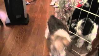 Cody Explores The Floor :: Rare Brown And White Miniature Schnauzer Puppy