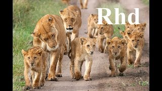 Lions pride of Africa,  the hunt for giraffe.  (part 1) Nature 2018 Hd Documentary.