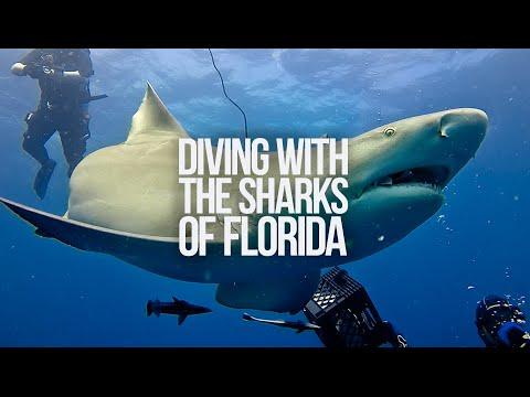 Epic Shark Diving at Jupiter - Lemon and Tiger sharks - Florida - US