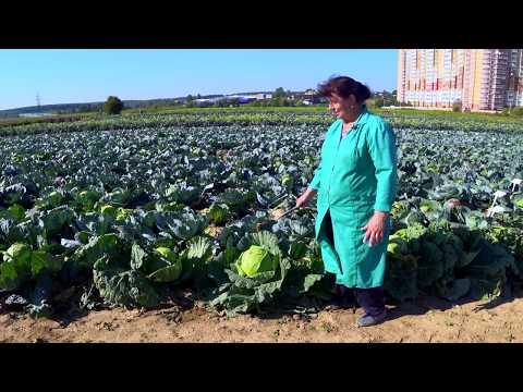 Обзор капусты белокочанной Московская Поздняя 15