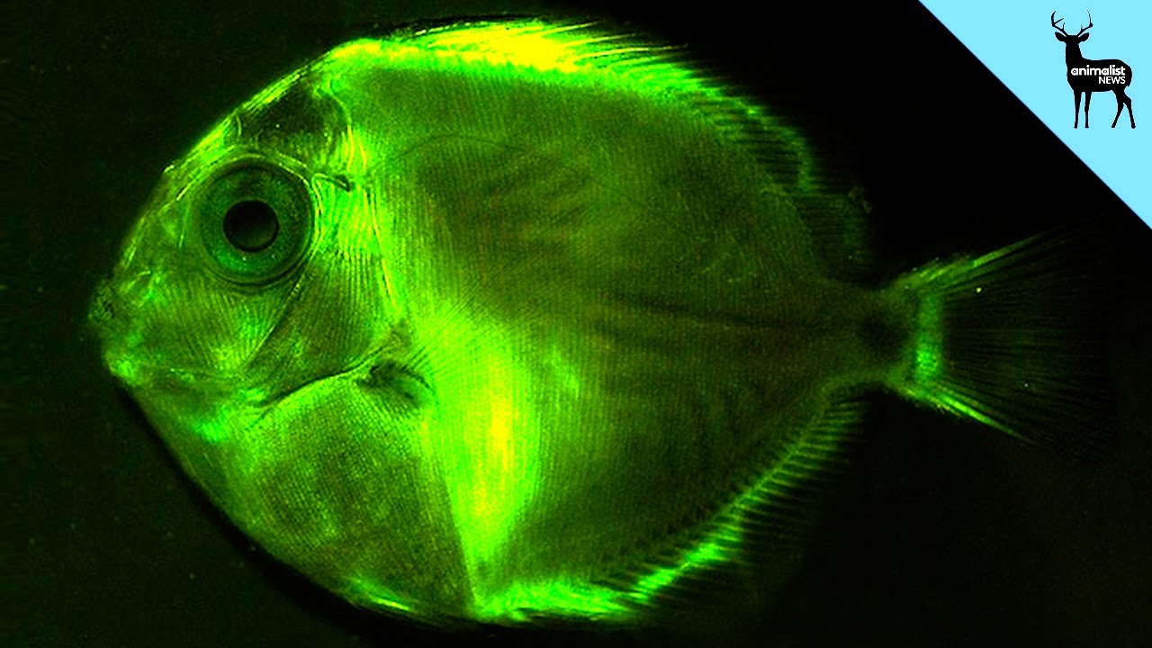 glowing fish the first big discovery of 2014 youtube