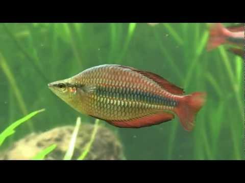 Banded Rainbowfish Melanotaenia Trifasciata