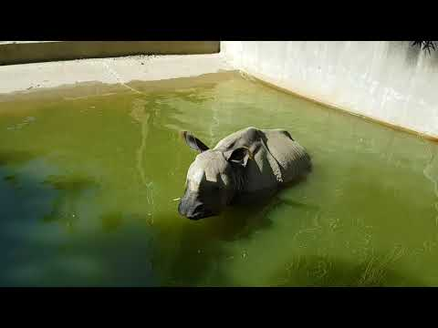 A bathing  Indian rhinoceros