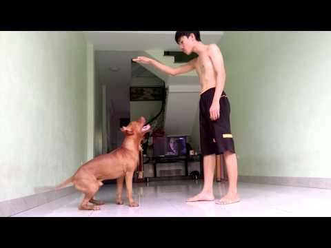 Huấn luyện chó Pit Bull ! Pitbull Dog tricks !