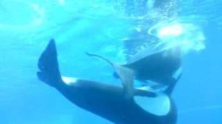 orca mating maryeland niagara falls
