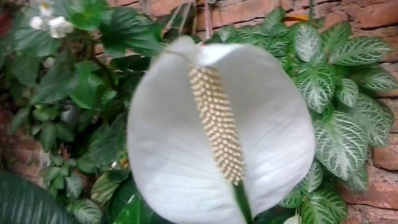 Planta cuna de mois s hermosa flor plant cradle of moses beautiful flower youtube - Planta cuna de moises ...