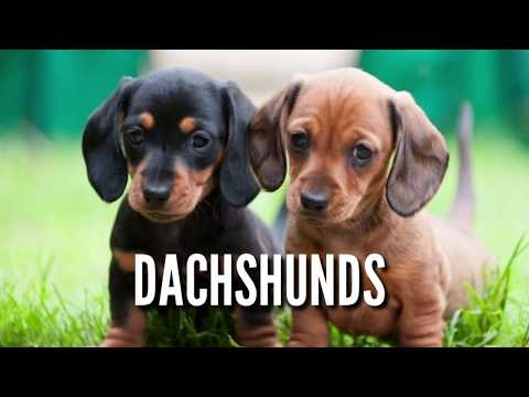 Dachshund Puppies for Sale. Liver and Black Coats. Healthy Dachshund Pups from Boskys Kennel