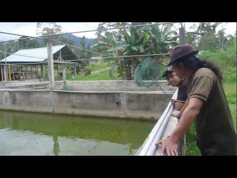 Affnan's Aquaponics - Janda Baik Fish Nursery
