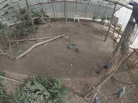 African Grey Parrot Social Territorial Behavior