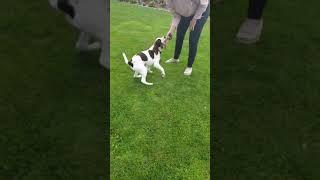 English Springer Spaniel  5 months  Journey