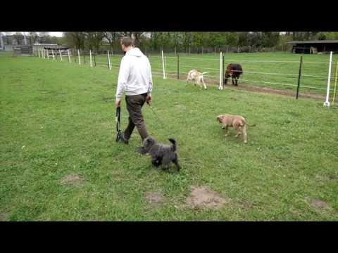 Socialisatie en training van Pip, Lakeland Terrier